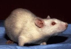What happens when a rat has a drug induced medical abortion?
